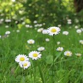 Beautiful meadow of daisies