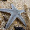 Starfish/Seastar