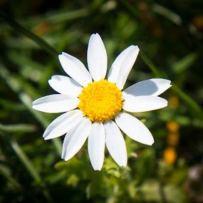 Daisy by Matt Stevens - Flowers Flowers in the Wild ( daisys, wildflower, flowers )