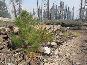 Photo: This young Jeffery pine brings new life along PCT.