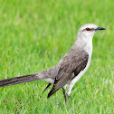 Sabiá-da-praia (Tropical Mockingbird)