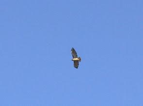 Photo: Red-tail Hawk