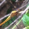 Marsh Skimmer - female