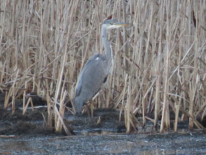 Photo: Priorslee Lake A Grey Heron looking to stay undetected against the reeds: must have been a Bittern in a previous existence when it would have worked better. (Ed Wilson)