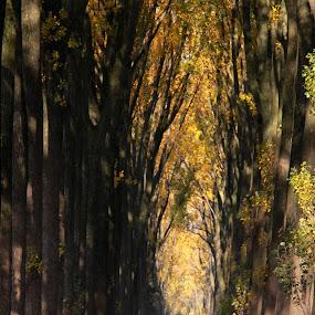 Poplars lane by Hilda van der Lee - City,  Street & Park  City Parks ( nature, autumn, trees, road, tall,  )