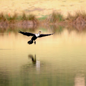 Landing gear out...... by Christo W. Meyer - Novices Only Wildlife ( bird, whitebreasted_cormorant, wildlife, birds,  )