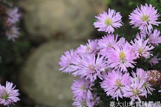 Photo: 拍攝地點: 梅峰-溫帶花卉區 拍攝植物: 紫孔雀 拍攝日期: 2015_10_27_FY