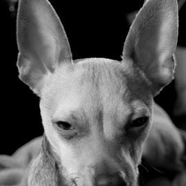 Iggy by Jonny Wood - Animals - Dogs Portraits