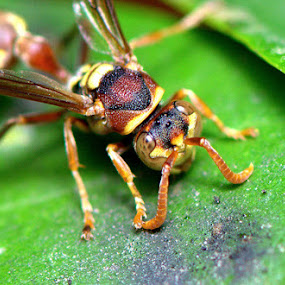 yellow jacket hornet2 by Nelwan Handoko Hasan - Animals Insects & Spiders ( wasp, hornet, insect )