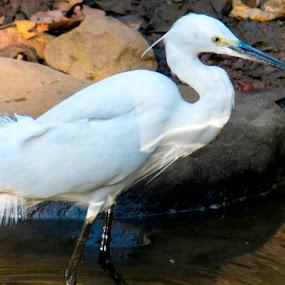 white bird in a pond by Basant Malviya - Animals Birds ( white, birds, lake,  )