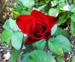 Photo: Red rose from an old garden.