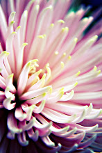 Photo: Chysanthemum - prints & cards here - http://www.inspiraimage.com/index.php/gallery/flowers/235-pink-chrysanthemum