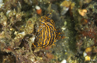 Photo: Polycera atra