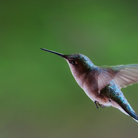Hummingbird by Daniel Schwarz - Animals Birds