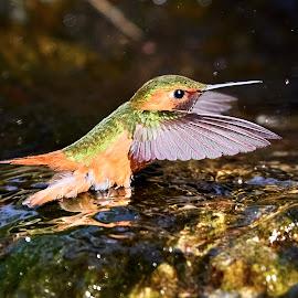HummerFun 506~ by Raphael RaCcoon - Animals Birds