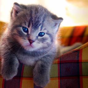 Sweetness by Alberto Ghizzi Panizza - Animals - Cats Kittens ( kitten, cat, kennel, sweet, pet, sweetness )