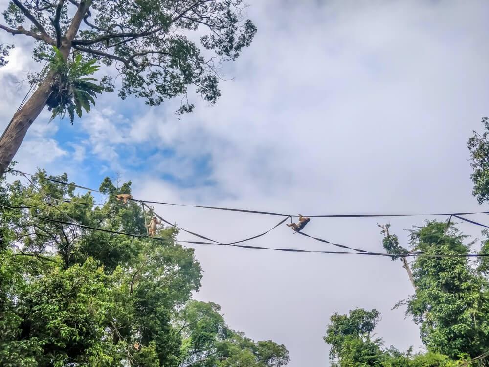 watching monkeys on the kinabatangan river tour in sukau sabah on the island of borneo malaysia