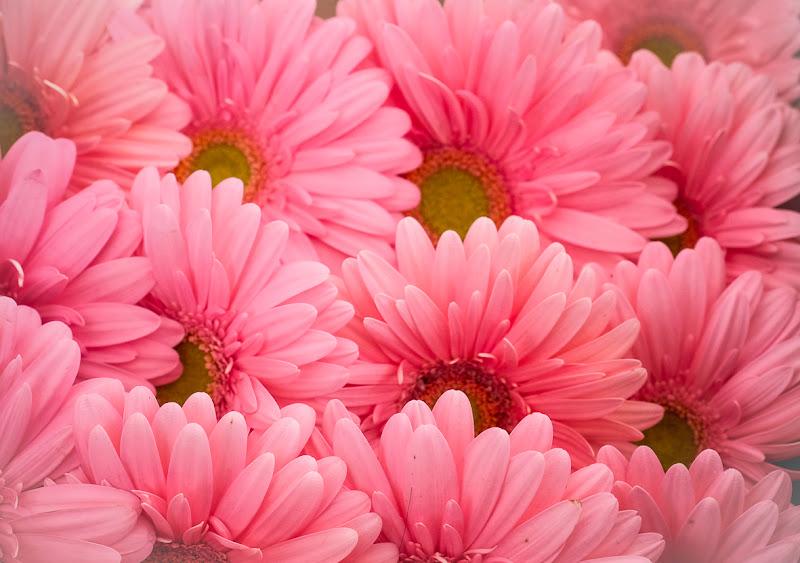 Gerbere rosa di Ro51
