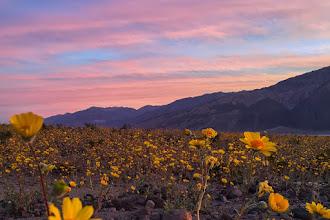 Photo: Desert Gold (Geraea canescens) at sunrise.  #iPhone6Splus