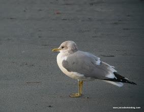 Photo: The diminutive Mew Gull, Princeton Harbor, Half Moon Bay.