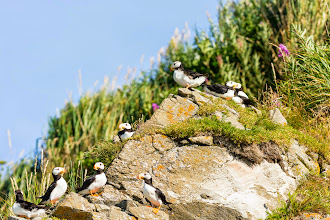 Photo: A flock of Puffins