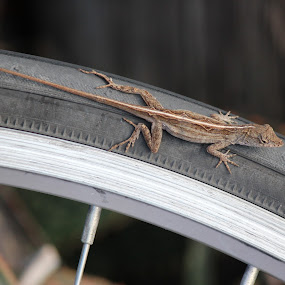 Joy Ride by Heather Taulbee McIntyre - Novices Only Wildlife ( nature, gecko, outdoors, fun, bicycle )