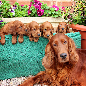 Meet the family by Ken Jarvis - Animals - Dogs Puppies ( pups, puppies, irish setter, setter, cutie )