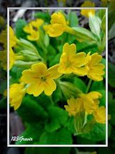 Photo: Primevère officiniale (Coucou), Primula veris