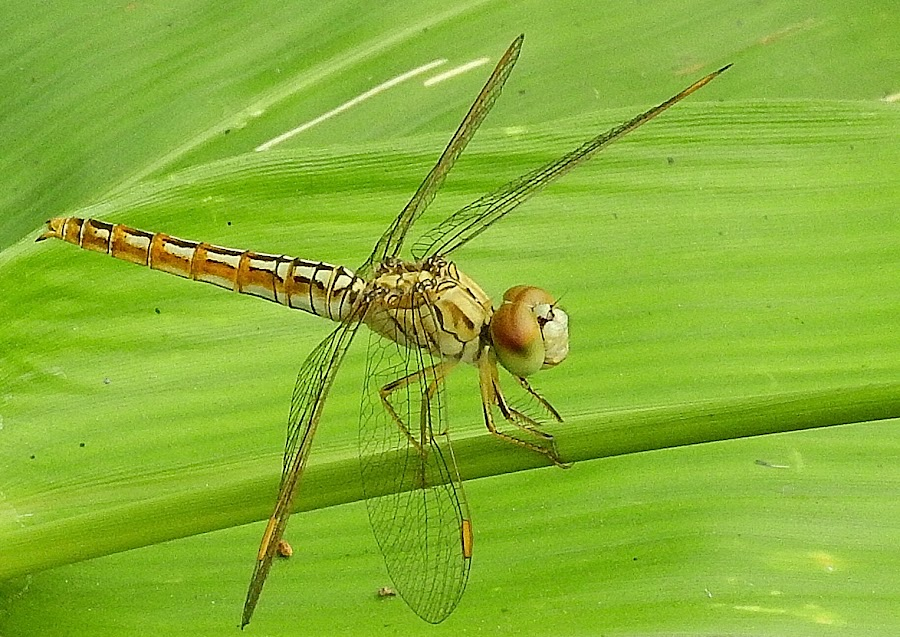 Dragonfly on a leaf by Govindarajan Raghavan - Animals Insects & Spiders (  )