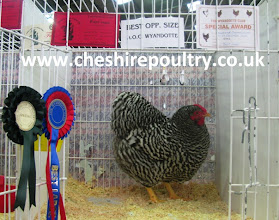 Photo: Barred Wyandotte Hen 1st at Stoneleigh ( Reserve Champion - Champions Row) 2nd at Stafford