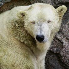 Photo: A polar bear gets sleepy after a swim