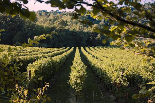 Rows of vines di Giulia Breda