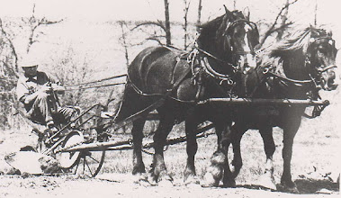 Photo: Jack Carver ploughing with Flossie and Holly - photo from Selina