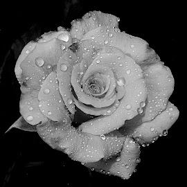 by Gérard CHATENET - Black & White Flowers & Plants
