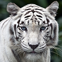 white tigers wallpaper icon