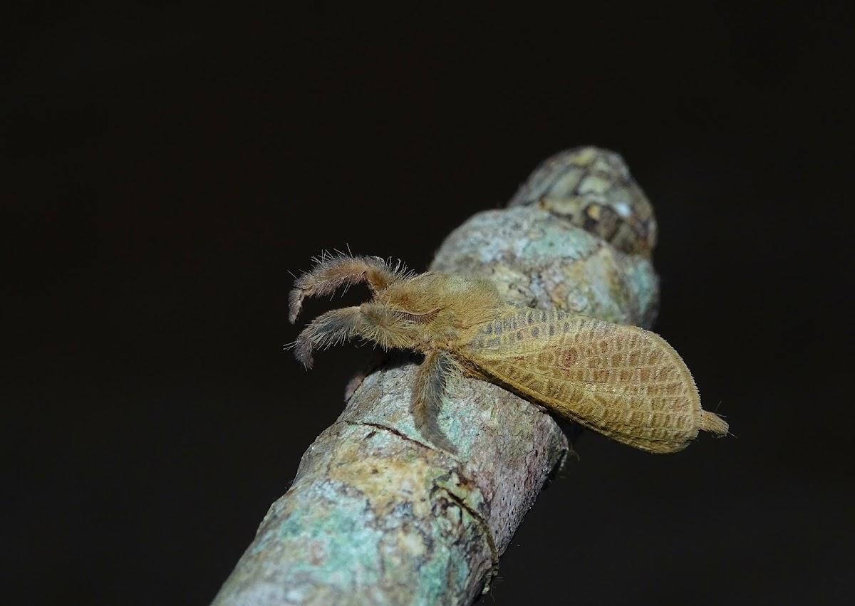 Tarantula MOTH