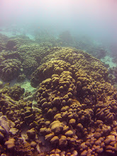 """Photo: Reef Front, circa 25 ft depth Montastrea annularis is the dominant coral, as described by Lewis (1960): """"Reef Front- As the forward edge of the seaward slope decreases in 1 height, the low ridges disappear and are replaced by scattered patches of coral heads. Aband of sand and rubble bottom, which is dotted with these patches, lies along most of the Ieeward coast at depths of about: 9 to 10 meters. The densityof the patches varies widelv from place to place.  """"The dominant coral of this zone is again Montastrea annularis. It formsgroups of lobular colonies and is the chief structural base lor the settlementof other species of corals. The clumps reach x height of about 4 feet and varyfrom 2 to 8 feet in diameter."""""""