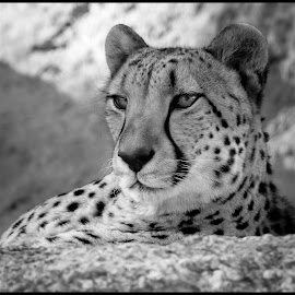 Cheetah by Dave Lipchen - Black & White Animals ( cheetah )