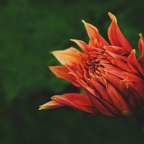 by Shyama Dev - Flowers Flower Buds