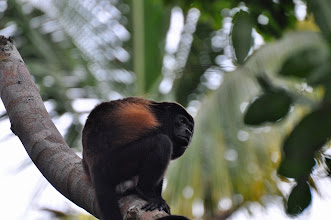 Photo: Howler monkeys are everywhere. This on was spotted in Cahuita NP.
