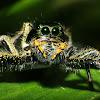 Hyllus Jumping Spider