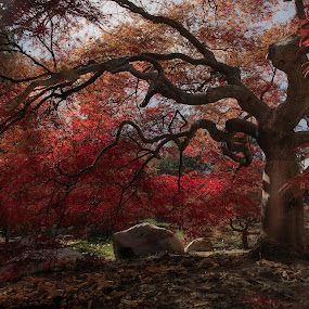 Ancient Red by Brandon Montrone - Nature Up Close Trees & Bushes ( forest, color, fall, nature, tree, japanese maple, garden, autumn, branches )