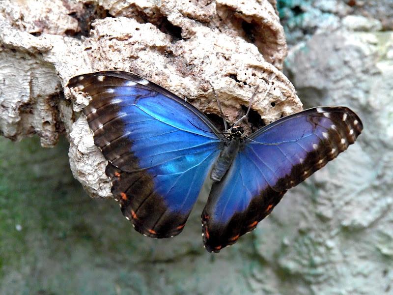 Butterfly di supergigi