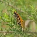 Philobota Moth