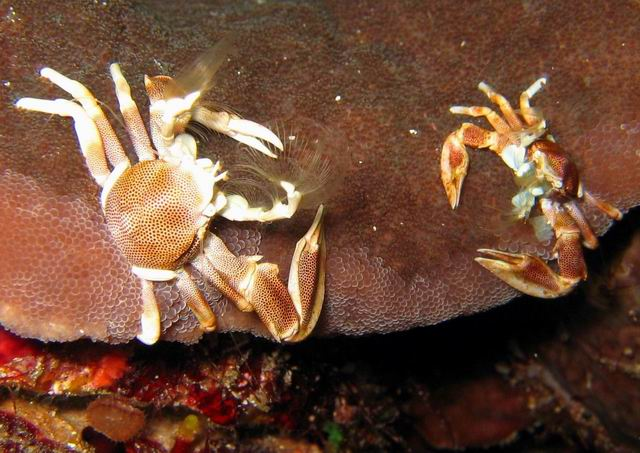 Photo: Crabes porcelaines aux Mergui. Photo de Valérie Morvan