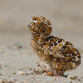 Chestnut-bellied Sandgrouse - Chick by Mohan Matang - Animals Birds ( pwcbabyanimals )