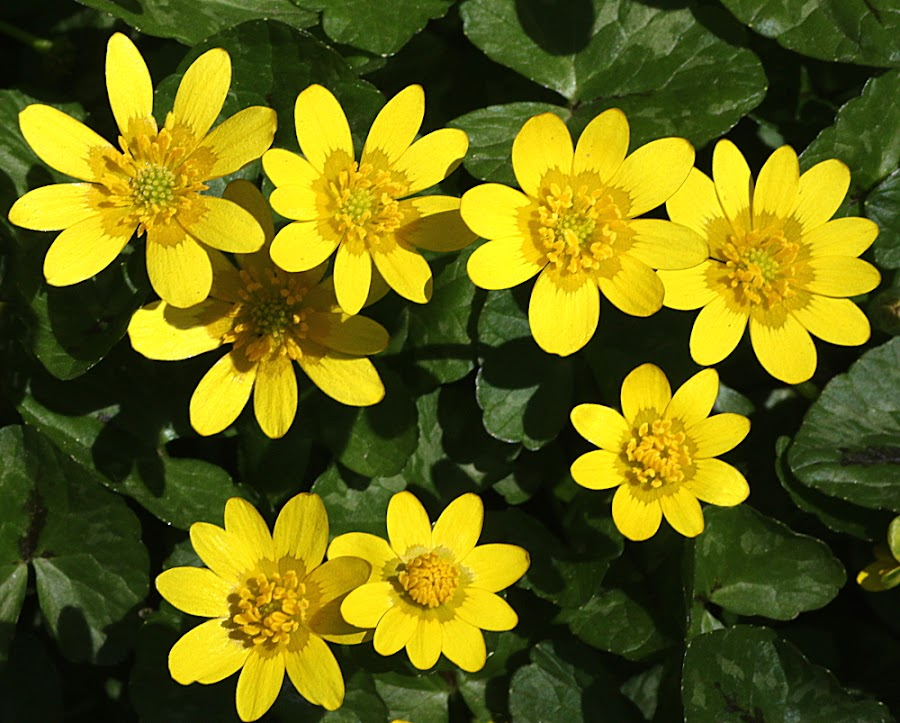 Lesser Celandines by Chrissie Barrow - Flowers Flowers in the Wild ( stigma, wild, lesser celandines, stamens, petals, green, above, yellow, leaves, flowers, closeup,  )