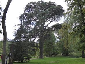 Photo: Chatenay-Malabry -Parc de la Vallée aux Loups -Maison de Chateaubriand-  Cèdre