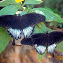Great Yellow Mormon (Males)
