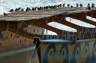 Photo: Mangrove Swallow (Mangrovenschwalbe); Bacalar, QROO